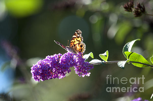 Butterfly Photograph - Sipping On Syrup by Affini Woodley