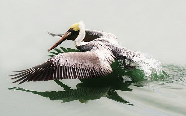 Pelican Photograph - Skimming Across The Water by Paulette Thomas