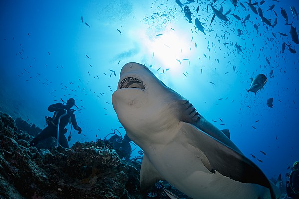Animal Photograph - Snacking Bull Shark by Dave Fleetham
