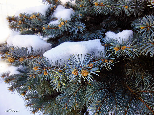 Nature Photograph - Snow Covered Spruce by Mikki Cucuzzo