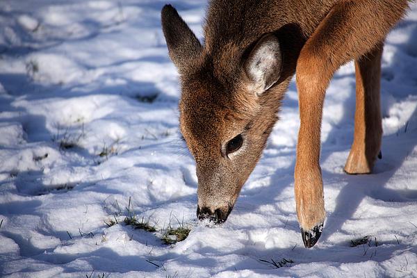 Deer Photograph - Snow Digging by Karol Livote