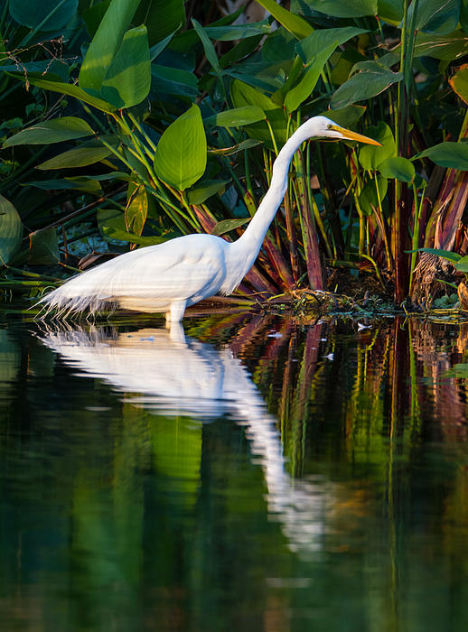 Animal Photograph - Snow Egret And Its Reflection by Andres Leon