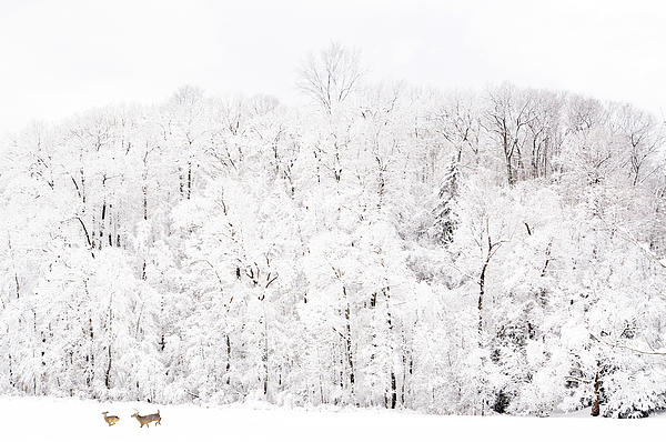 Whitetail Deer Photograph - Snow Romp by Emily Stauring