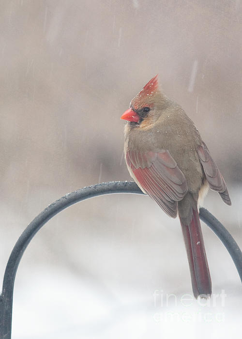 Female Cardinal Photograph - Snow Shower by Kay Pickens
