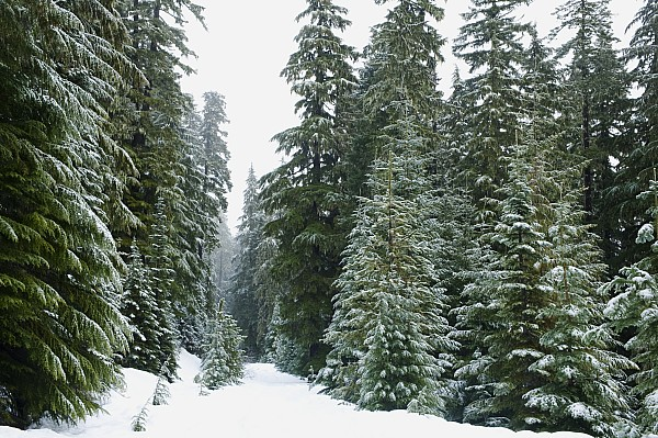 Cedar Photograph - Snowy Mount Hood Forest by Charmian Vistaunet