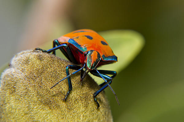 Stink Bug Photograph - So Shy 01 by Kevin Chippindall