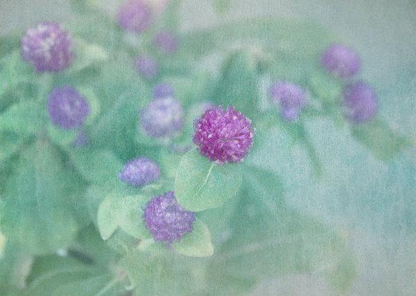 Flower Photograph - Softly Clover by Kim Hojnacki
