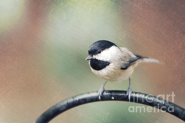 Chickadee Photograph - Solo Flight by Kay Pickens
