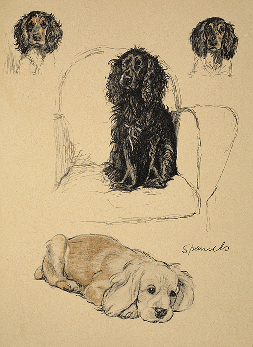 Dog Drawing - Spaniels, 1930, Illustrations by Cecil Charles Windsor Aldin