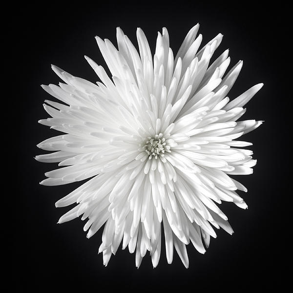 Image result for white spider mum