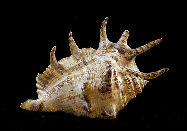 Shell Photograph - Spikes Back Side by Jean Noren