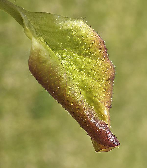 Leaf Photograph - Spring Again by Mariola Szeliga