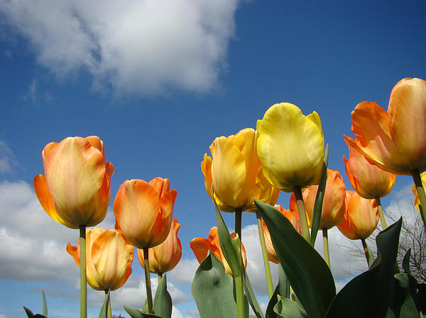 Yellow Photograph - Spring Blue Sky White Clouds Orange Tulip Flowers by Baslee Troutman