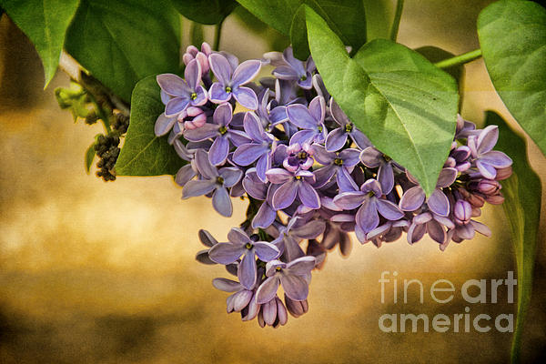 Lilac Photograph - Spring Dreaming by Peggy Hughes