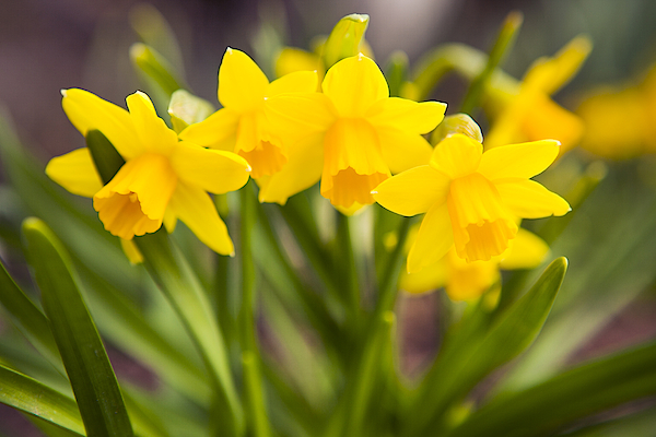 Spring Flowers: Yellow Daffodils Photograph by Renphoto