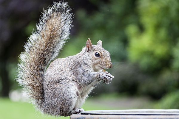 Squirrel Eating At Hyde Park, London, England Photograph by Norbert Achtelik