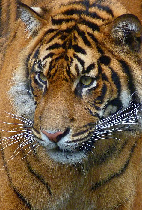 Sumatran Tiger Photograph - Stalking A Snack by Margaret Saheed