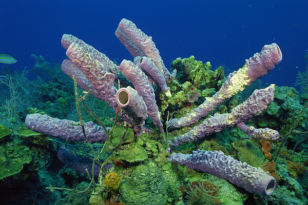 Stove-pipe Sponge Underwater Photograph by Comstock Images