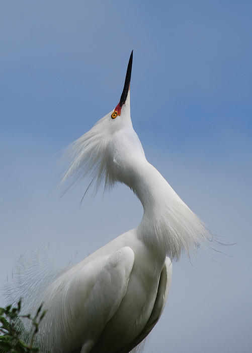 Egret Photograph - Strut Yer Stuff by Skip Willits