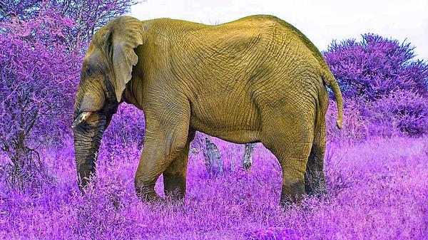 Elephant Bull Photograph - Styled Environment-the Modern Elephant Bull by Douglas Barnard