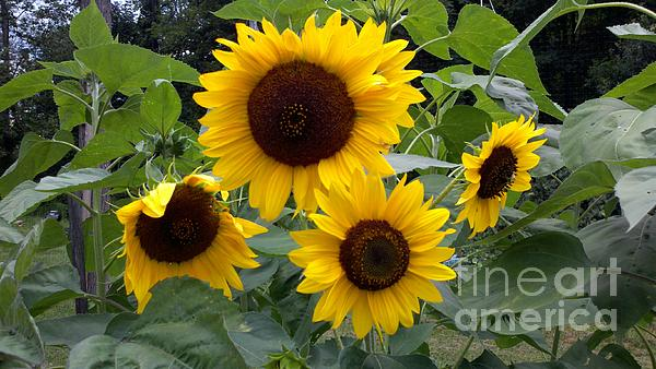 Sunflowers Photograph - Sunflowers by Polly Anna