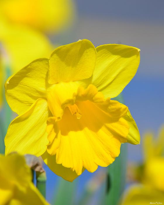 Daffodil Photograph - Sunny Days Of The Daffodil by Maria Urso