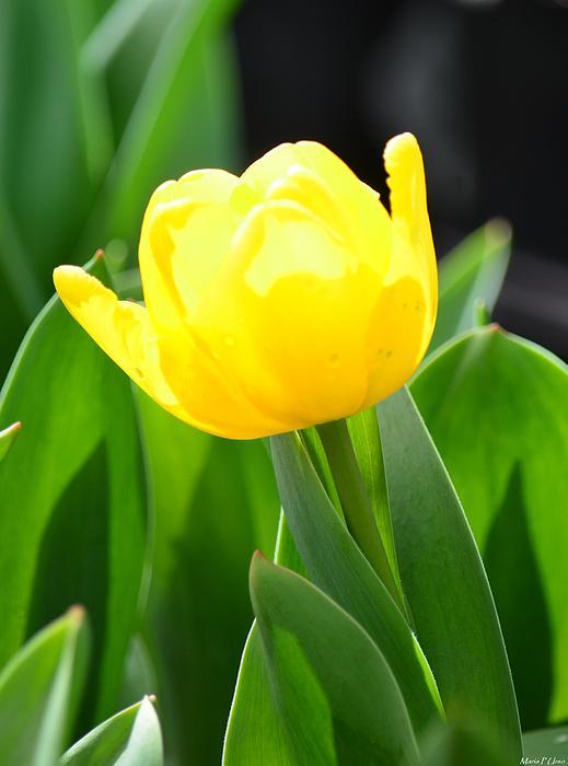 Sunshine Photograph - Sunny Yellow Tulip by Maria Urso