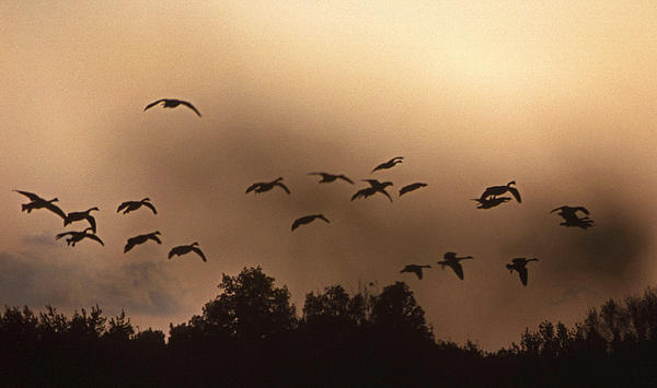 Geese Photograph - Sunrise Fog And Incoming by Skip Willits