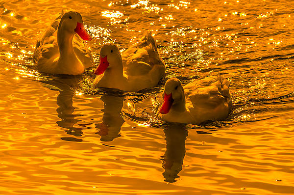 Sunset Ducks Photograph by Brian Stevens