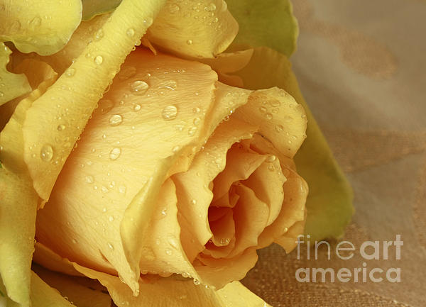 Sunshine Photograph - Sunshine Delight Yellow Rose by Inspired Nature Photography Fine Art Photography