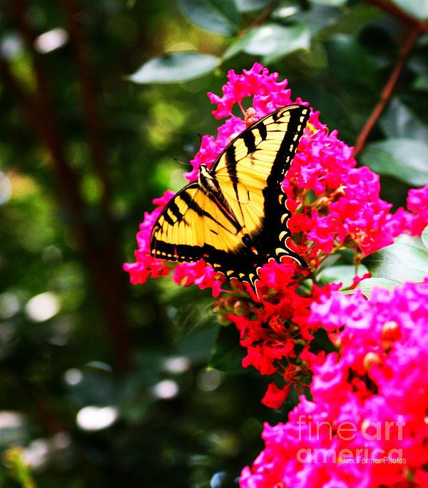 Butterfly Love Photograph - Swallowtail Beauty  by Jinx Farmer