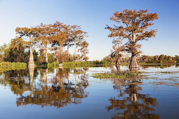 Swamp Cypress Trees (taxodium Distichum) In Autumn Colors, Henderson Lake, Atchafalaya Basin, Louisiana, Usa Photograph by F. Lukasseck
