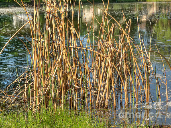 Illinois Photograph - Swamp Grass by Deborah Smolinske