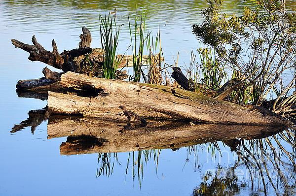 Alligator Photograph - Swamp Scene by Al Powell Photography USA