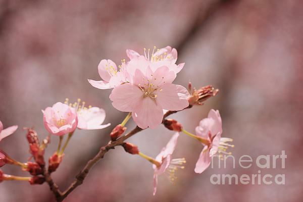 Blossom Photograph - Sweet Blossom by LHJB Photography
