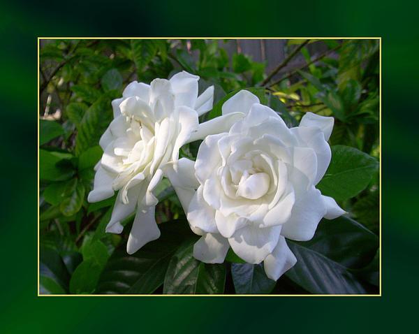 Sweet Photograph - Sweet Gardenia by Ginny Schmidt