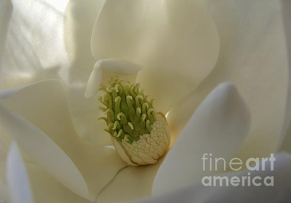 Flower Photograph - Sweet Magnolia by Peggy Hughes