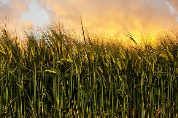 Calm Photograph - Tall Wheat by Svetlana Sewell