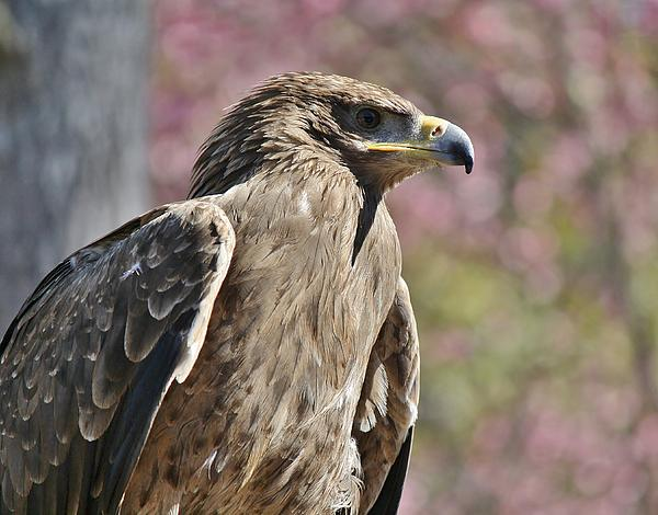 Tawny Eagle Photograph - Tawny Eagle Amongst The Cherry Blossoms by Paulette Thomas