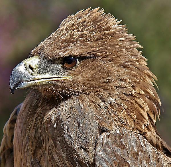 Tawny Eagle Photograph - Tawny Eagle Up Close by Paulette Thomas