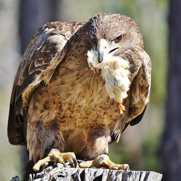 Eagle Photograph - Tawny Eagle With Chicken Dinner by Paulette Thomas