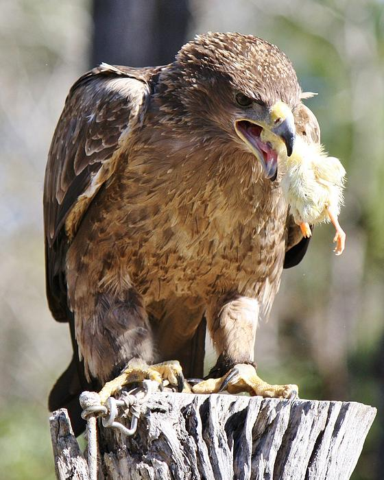 Tawny Eagle Photograph - Tawny Eagle With His Prey by Paulette Thomas