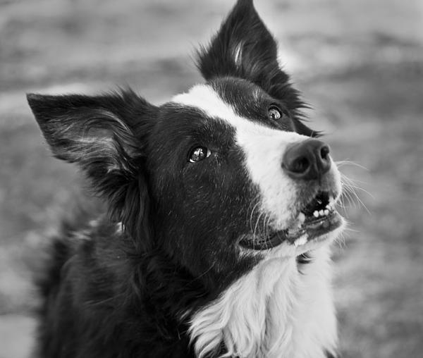 Border Collie Photograph - Tessie 9 by Rich Franco