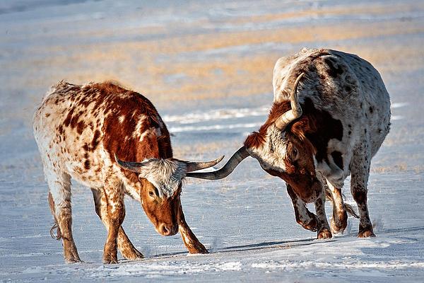 Rural Scene Photograph - Texas Longhorns by Lena  Owens OLena Art