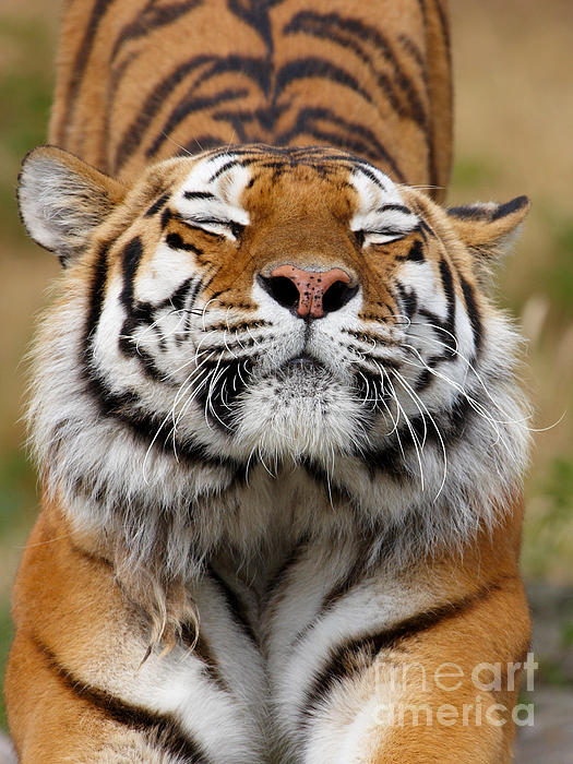 Beautiful Photograph - The Beautiful Siberian Tiger by Boon Mee