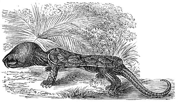 The Big-headed Turtle (platysternon Megacephalum Drawing by Nastasic