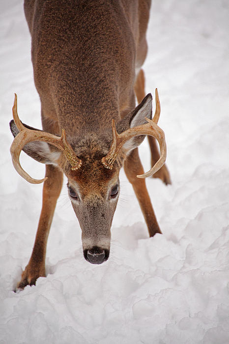 Buck Photograph - The Buck Stare by Karol Livote