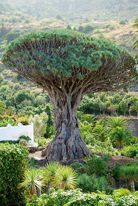 Tenerife Photograph - The Dragon Tree / El Drago Milenario by Gavin Lewis