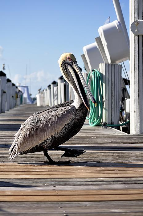 Pelican Photograph - The Entertainer by Andres LaBrada