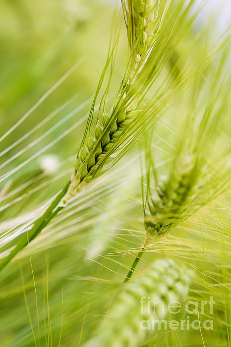 The Photograph - The Green Rye Beautiful by Boon Mee